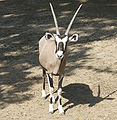 Antelope new.jpg