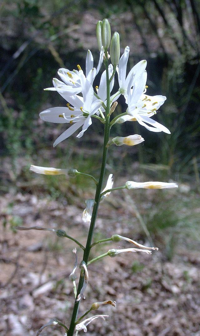 inflorescences de la phalangere à fleur de lis