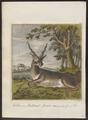Antilope spec. - 1767-1779 - Print - Iconographia Zoologica - Special Collections University of Amsterdam - UBA01 IZ21400029.tif