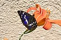 Apatura iris, Chateau-Lambert - img 13354.jpg