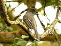 Apical.Flycatcher Matthew.Gable.jpg