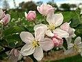 Appelbloesem boomgaard Sint-Truiden - panoramio.jpg