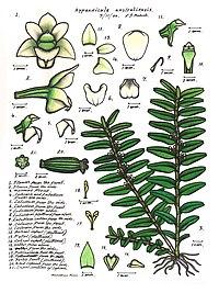 Appendicula australiensis.JPG