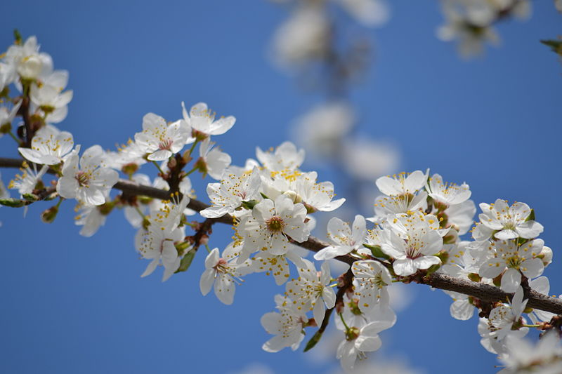 File:Apple blossoms-12.JPG