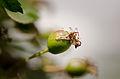Apple of Malus florentina in June - Florentine crabapple - hawthorn-leaf crabapple - Italienischer Zierapfel.jpg