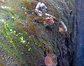 Aquatic fungusGroupchampignonAquatique à lamelles Moyenne-Deûle mai 2016 F.Lamiot in situ20.JPG