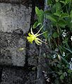 Aquilegia longissima - Flickr - peganum (1).jpg