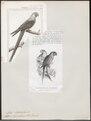 Ara hyacinthina - 1838 - Print - Iconographia Zoologica - Special Collections University of Amsterdam - UBA01 IZ18500131.tif