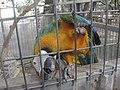 Ara hybrid -aviary -Texas-8a.jpg