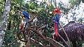 Araras - Parque das Aves.jpg