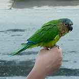 A green parrot with a brown throat and cheeks, a blue forehead, a light-green underside, white eye-spots, and blue-tipped wings