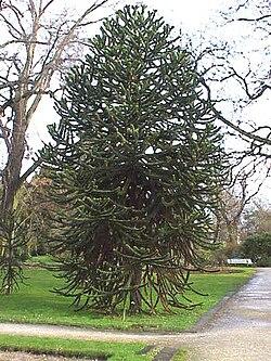 Araucaria araucana1.jpg