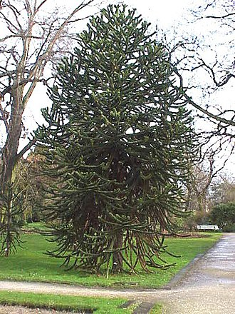 William Lobb - Monkey-puzzle trees are popularly grown as ornamental trees