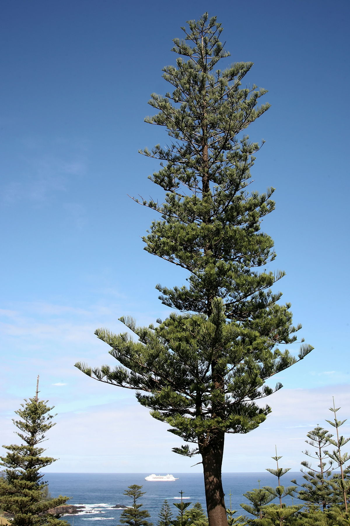 And information network araucaria heterophylla norfolk pine - And Information Network Araucaria Heterophylla Norfolk Pine 4