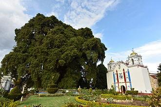 """Taxodium mucronatum - """"El Árbol del Tule"""", in Santa María del Tule, Oaxaca, Mexico"""