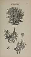 Arboretum et fruticetum britannicum, or - The trees and shrubs of Britain, native and foreign, hardy and half-hardy, pictorially and botanically delineated, and scientifically and popularly described (14597259019).jpg
