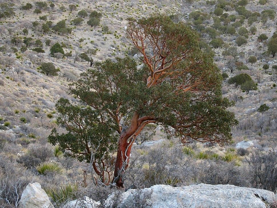 Arbutus xalapensis Guadalupe Peak