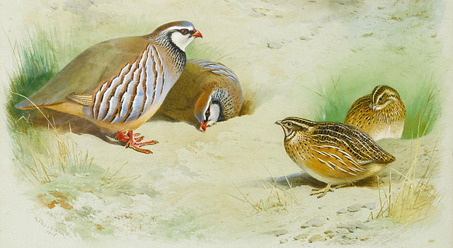 https://upload.wikimedia.org/wikipedia/commons/thumb/3/38/Archibald_Thorburn_French_partridge_and_chicks_1915.jpg/640px-Archibald_Thorburn_French_partridge_and_chicks_1915.jpg