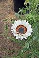 Arctotis fastuosa-IMG 6972.jpg