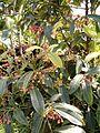 Ardisia crenata HabitusFlowersFruits BotGardBln0906.JPG