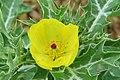 Argemone mexicana - Mexican Prickly Poppy - at Beechanahalli 2014 (12).jpg
