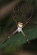 Argiope pulchella-Kadavoor-2016-03-24-001.jpg