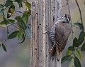 Arizona Woodpecker (33163553423).jpg