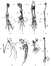 Arm skeleton comparative NF 0102.5-2.png