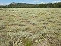Artemisia arbuscula and Artemisia tridentata vaseyana (9371411429).jpg
