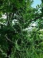 Artemisia sp.Asteraceae 02.jpg