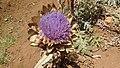 Artichoke (Cynara cardanculus).jpg