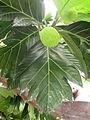 Artocarpus altilis (11034142654).jpg