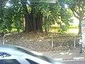 Arvore na frente do casarão Historico - panoramio.jpg