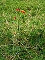 Asclepias curassavica (Habitus).jpg