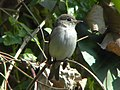 Asian-brown flycatcher.jpg