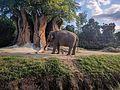 Asian Elephant (31695317691).jpg