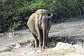 Asian Elephant (Elephas maximus) 02.jpg