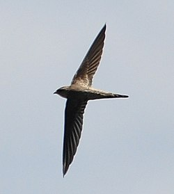 Asian Palm Swift (Cypsiurus balasiensis) Pondicherry India Apr 2011 b.jpg