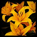 Asiatic Lily(1) - Flickr - pinemikey.jpg