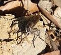 Asilidae. Robberfly (33149402565).jpg