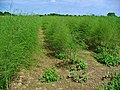 Asparagus officinalis 001.JPG