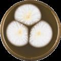 Aspergillus affinis meaox.png