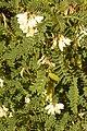 Astragalus in Algarve (25285222280).jpg