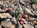 Astragalus platytropis (3848704803).jpg