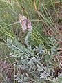 Astragalus vesicarius subsp. vesicarius sl3.jpg