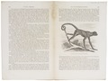 Ateles hypoxanthus - 1700-1880 - Print - Iconographia Zoologica - Special Collections University of Amsterdam - UBA01 IZ20200100.tif