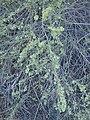 Atriplex canescens kz01.jpg