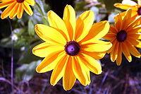 Infloresc�ncia de uma Asteraceae, uma das mais evoluidas