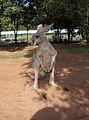 Australia Queensland kenguru - panoramio - Vinko Rajic.jpg