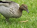Australian wood duck 02.jpg